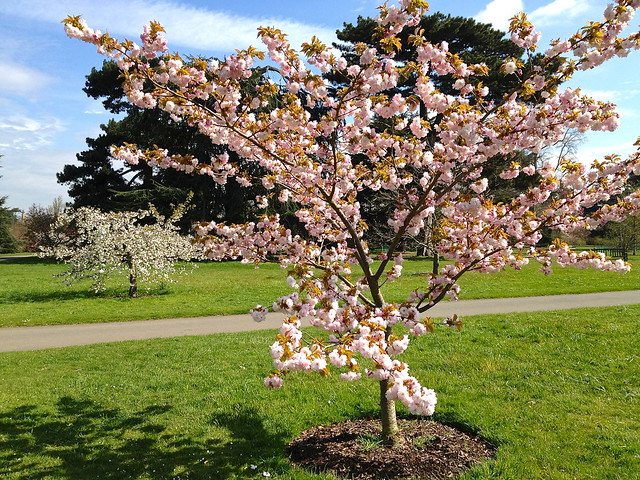 Kew cherry blossom - Prunus matsumae hanaguruma