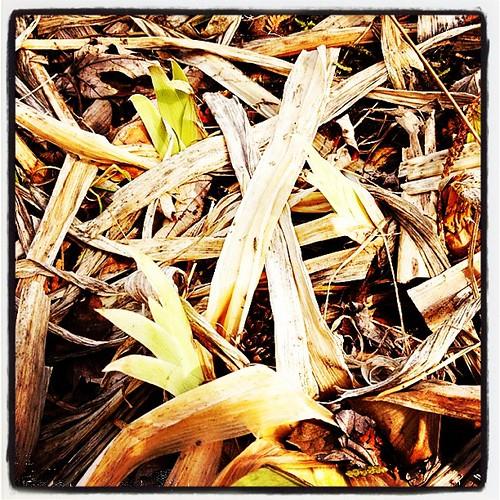 Mar 31 - 'I' {irises peeking out in the spring sunshine} #PhotoToaster #photoaday #spring