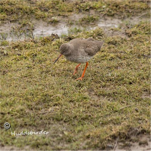 Redshank 14/52