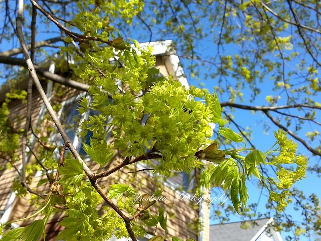 Acer saccharum (Sugar Maple) flowers