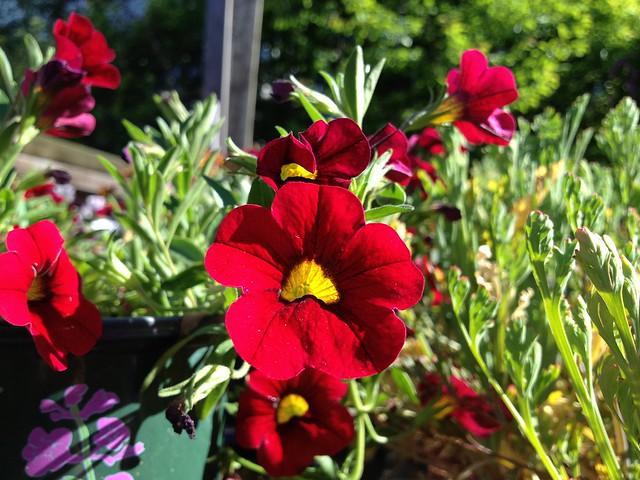 Red Calibrachoa