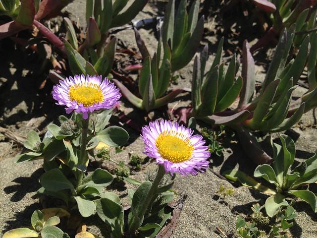 Pink seaside daisy