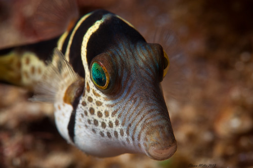 fish of okinawa- Canthigaster valentini