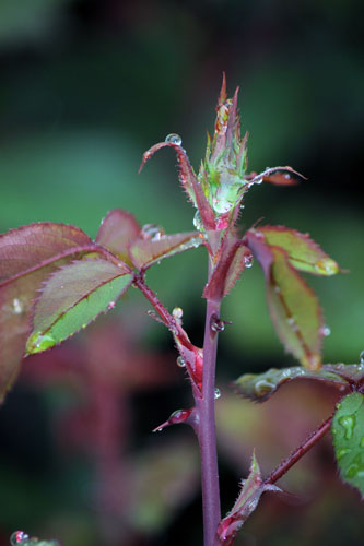 rose bud in the rain
