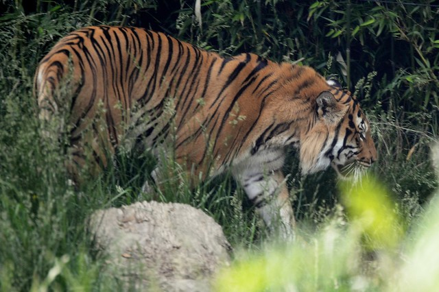 Tiger in the Weeds