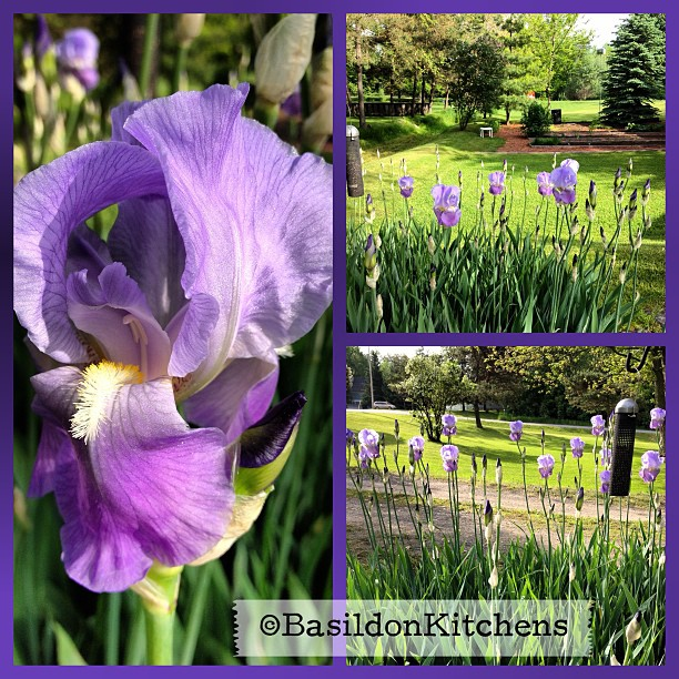 June 1 - 'B' is for ... {bloom; conveniently my irises burst into bloom this morning! } #fmsphotoaday #blooming #irises