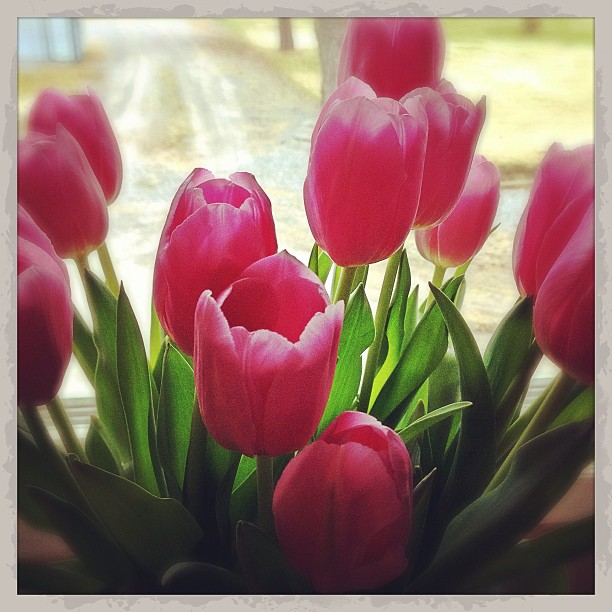Apr 16 - my favorite color {it changes often with my mood & the seasons, but these are my favorite right now!} #fmsphotoaday #tulips #pink #spring
