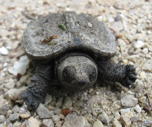 Baby snapping turtle (Chelydra serpentina), UW Arboretum