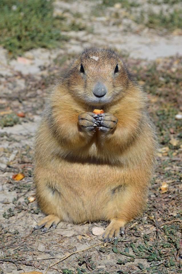 The prairie dog eating