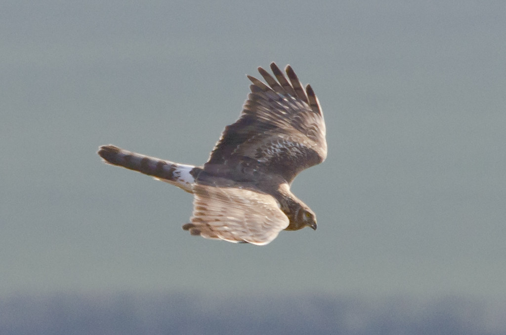 Female Hen Harrier in Wiltshire