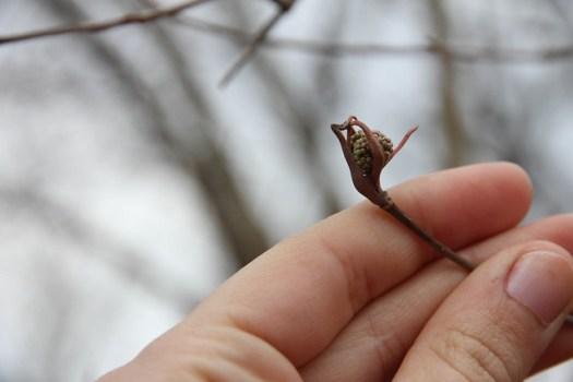 Maramech Forest Preserve Viburnum lentago nannyberry phenology bud burst flower buds