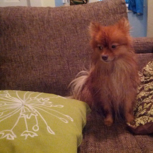 I just washed this dog and I can't do a thing with her #pomsofinstgram #pomeranian #whydoesitsmelllikewetdoginhere