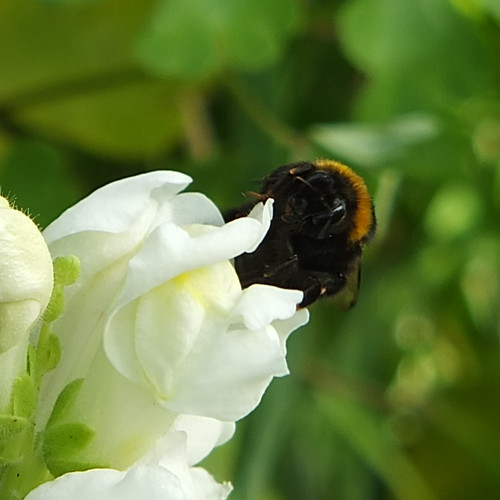 Bee on snapdragon_0004.jpg by Patricia Manhire