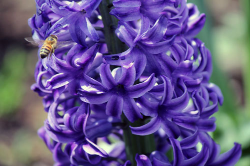 bee and purple flower: meadowlark botanical gardens