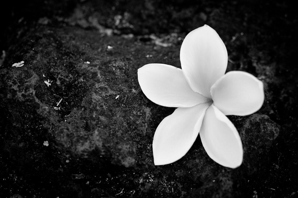 Maui Plumeria Flower Hawaii