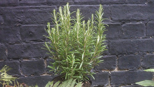 Rosemary Upright