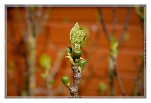 04052013-_MG_1681 : Figues by Yannick BARBIER