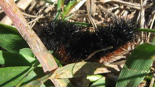 Woolybear (Pyrrharctia isabella), Lodi Marsh State Natural Area, 10/13/13