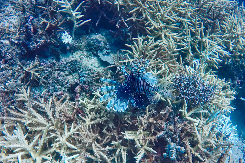 A Lionfish munching on the coral.