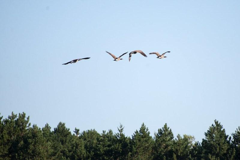 _DSC3220 Canada Goose