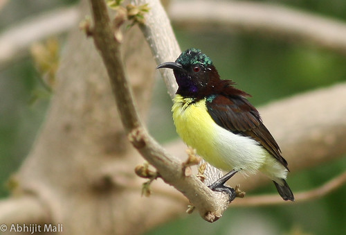 Purple Rumped Sunbird (Male)