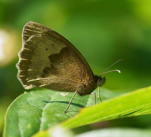Meadow Brown (Maniola jurtina), m?