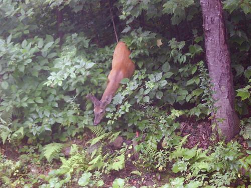 The deer revealed