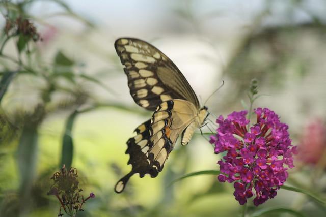Giant Swallowtail3