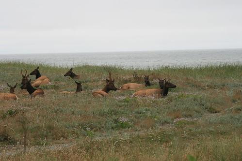 Elk by the ocean