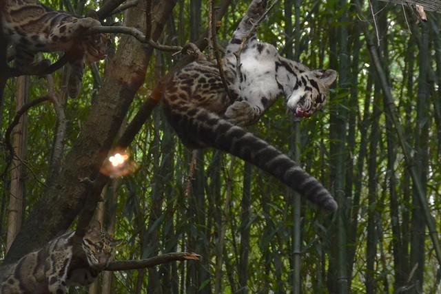 Clouded Leopard Slurp