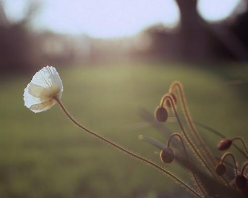 Papaveraceae by tubb