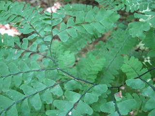 Maidenhair fern (Adiantum pedatum), Wingra Woods, UW-Madison Arboretum