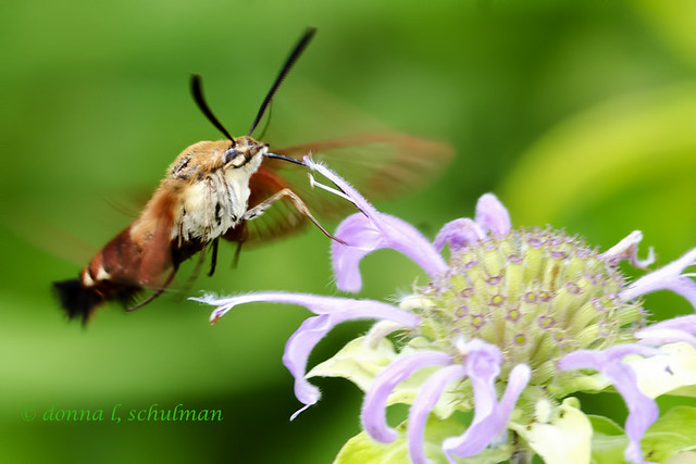 NN: Hummingbird Moth 2
