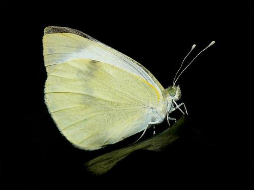 Butterfly on Black by Daysleeper40