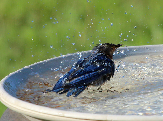 Young male bluebird bathing