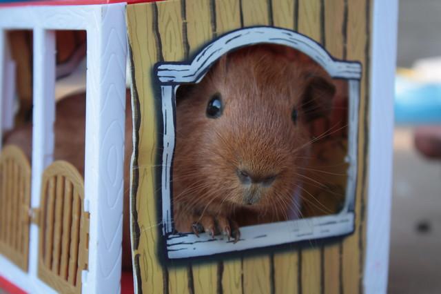 Giddy Up, Guinea Piggies!