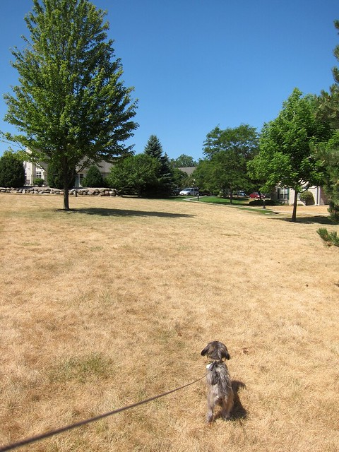 A large expanse of dry, yellow grass with a few trees. In the distance is some green grass. A small dog is in the foreground.