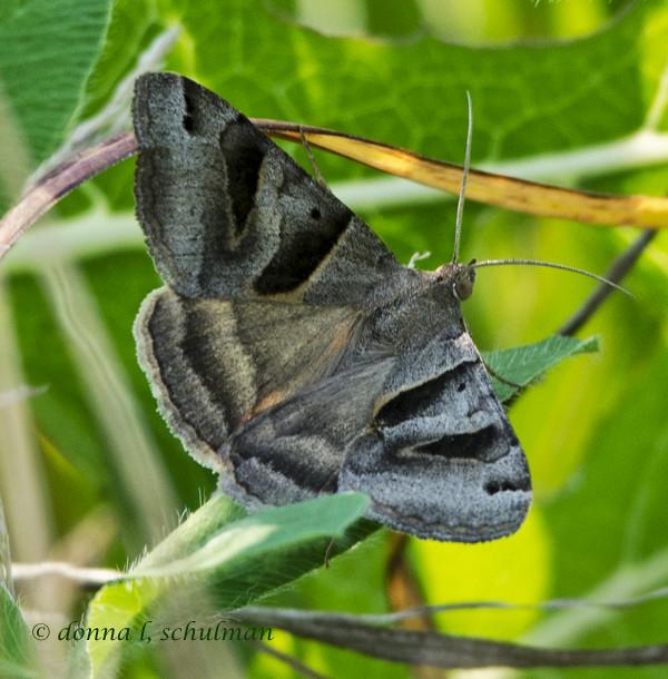 NN: Geometrid Moth