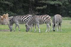 Chapman-Steppenzebras im Knuthenborg Safaripark