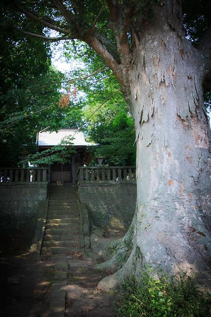 #40 The Giant Zelkova of Kou Shrine
