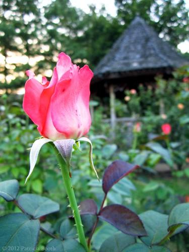 Day 229 Rosebud by pixygiggles