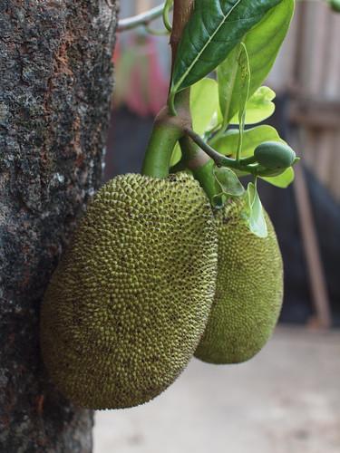 204/366 - Jackfruit by Flubie
