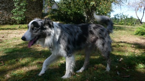 France, a blue merle border collie  (adult)