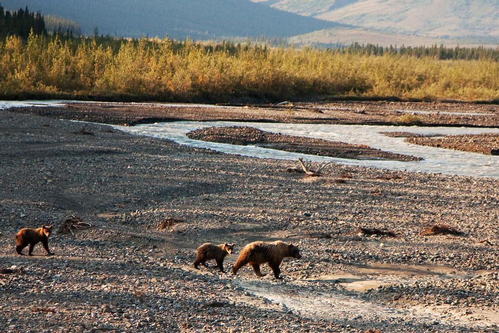 Denali Bear Crossing