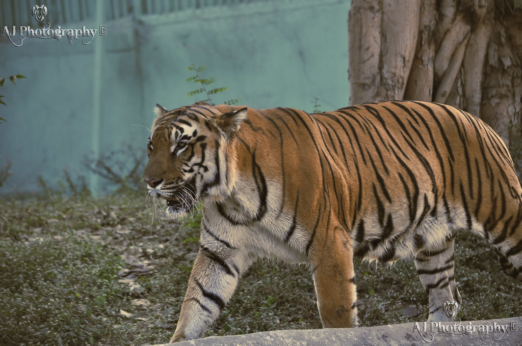 The Bengal Tiger at Flickr By Ajay Singh Kharayat