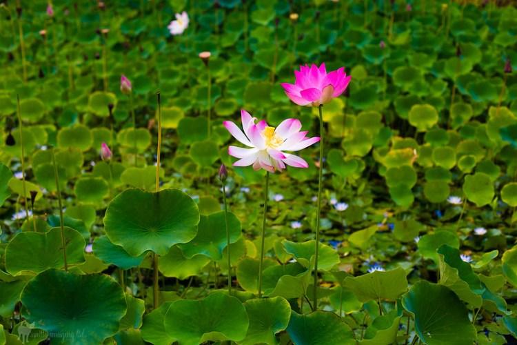 McBride Garden Lilies
