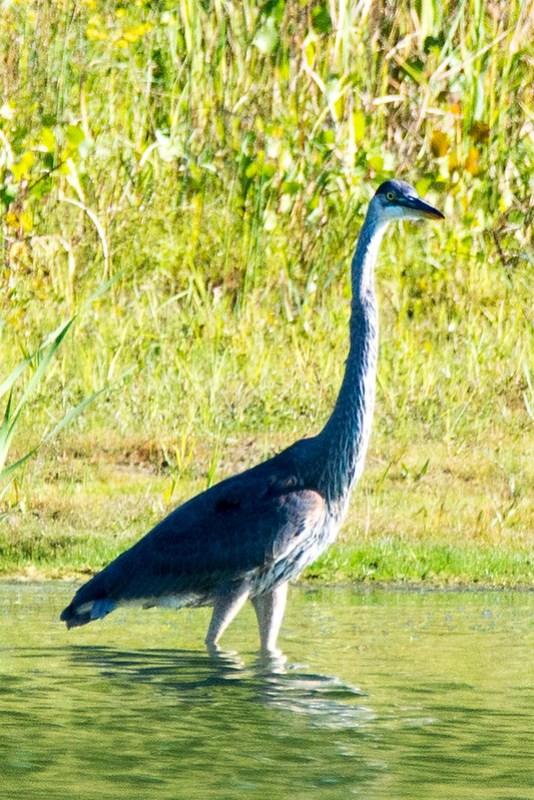 _DSC3253 Great Blue Heron
