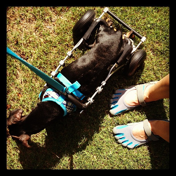 [195/366] This is how an injured runner and a paralyzed dachshund take on the neighborhood.