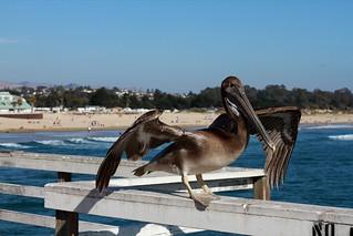 Pelican leaving Pismo Beach!