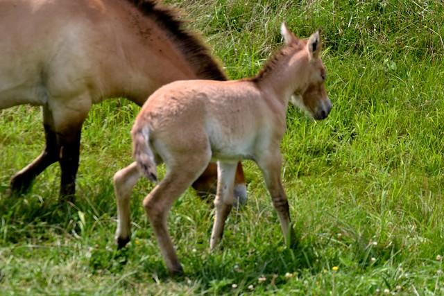 Baby Przewalski's Wild Horse